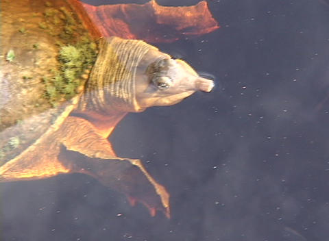 A tortoise floats on the surface of a lake Stock Video Footage