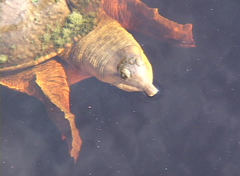 A tortoise floats on the surface of a lake Footage
