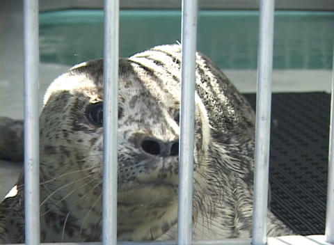A seal sits in a cage in a zoo Footage