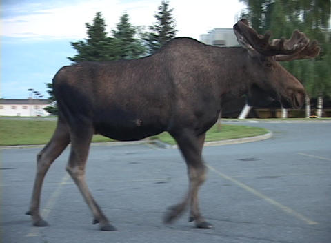 A very large male moose walks down a public street in Alaska Footage