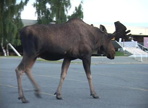A very large male moose walks down a public street in Alaska Stock Video Footage
