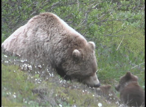 An Alaskan brown bear and it's cubs walk in the grass Stock Video Footage