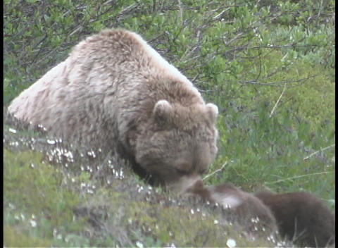 An Alaskan brown bear and it's cubs walk in the grass Footage