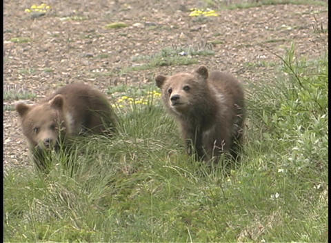 Baby brown bear cubs play in the grass Stock Video Footage