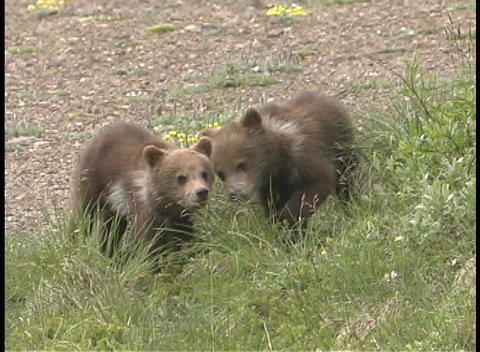 Baby brown bear cubs play in the grass Footage