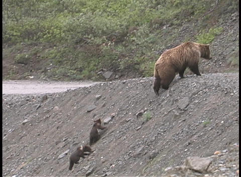 A mother brown bear and cubs walk up a steep embankment... Stock Video Footage