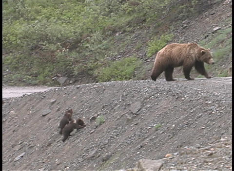 A mother brown bear and cubs walk up a steep embankment and cross the road Footage