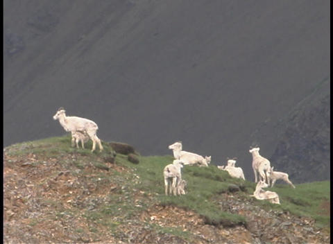 Alaskan dall sheep walk on a distant hillside Footage