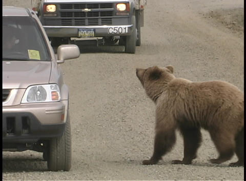 A bear approaches a car on a highway in a national park Live Action