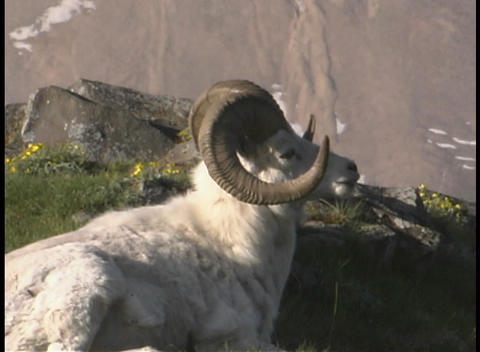 A ram brays on a mountainside Footage