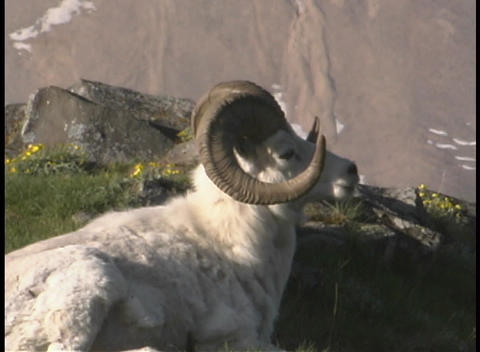 A ram brays on a mountainside Stock Video Footage