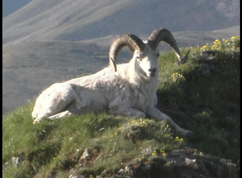 A ram reclines on a grassy hillside Stock Video Footage