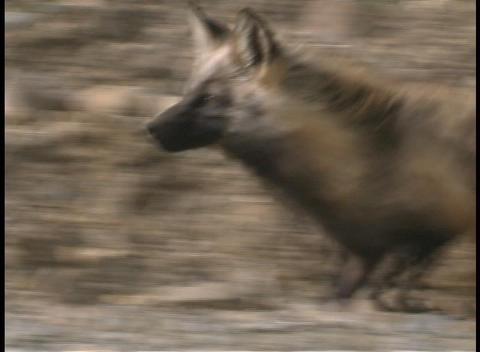 A fox hunts for prey in Denali Alaska Stock Video Footage