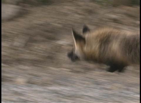 A fox hunts for prey in Denali Alaska Footage