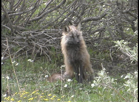 A cute fox looks around intently Stock Video Footage