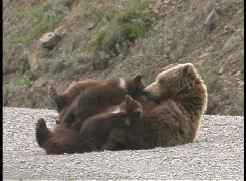 A mother Grizzly and her cub play on the ground Footage