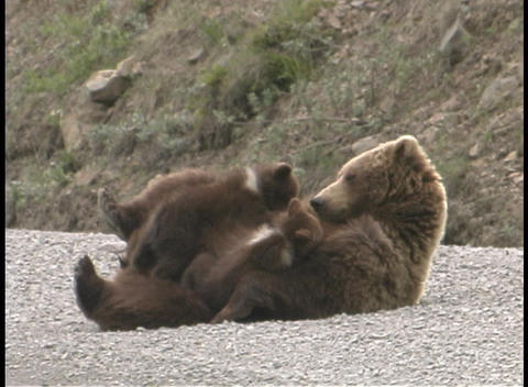 A mother Grizzly and her cub play on the ground Stock Video Footage