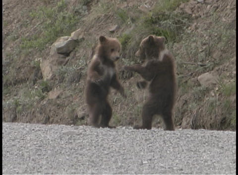 Two baby bear cubs box and play standing up Stock Video Footage
