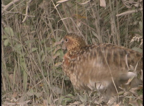 A pheasant in the underbrush Stock Video Footage