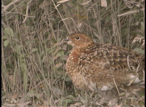 A Pheasant In The Underbrush stock footage