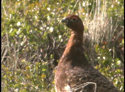 Pheasant in the underbrush Stock Video Footage