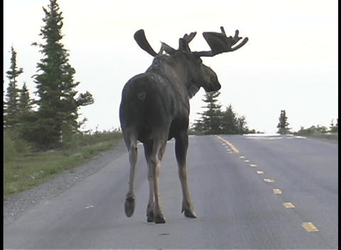 A moose walks down a road in Alaska Stock Video Footage
