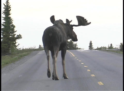 A moose walks down a road in Alaska Footage
