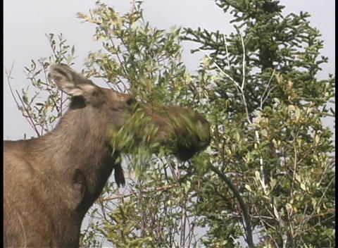 A moose eating a tree branch Stock Video Footage
