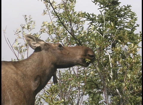 A moose eating a tree branch Footage