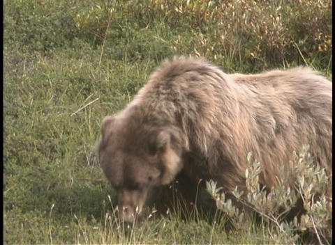 A grizzly bear foraging in the grass Footage
