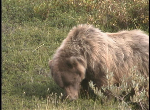 A grizzly bear foraging in the grass Stock Video Footage