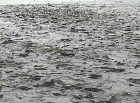 Millions of salmon swarm in a river in Alaska Stock Video Footage