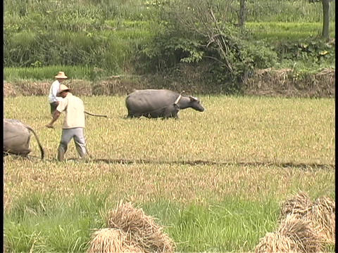 Farmers walk behind oxen in a rice paddy field Footage