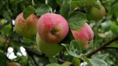 apples on branch Footage