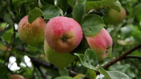 apples on branch Stock Video Footage