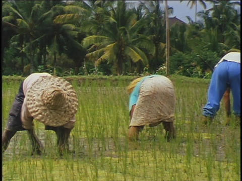 Indonesians work in a rice paddy field Stock Video Footage