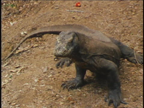 A Komodo dragon sits in the dirt Stock Video Footage