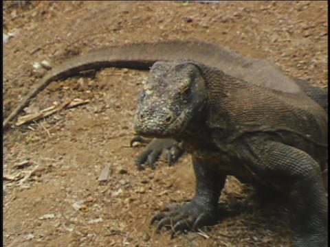 A Komodo dragon sits in the dirt Live Action
