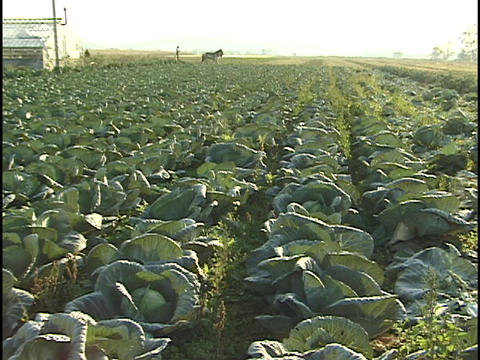 An Amish rides on a horse drawn platform across a cabbage... Stock Video Footage