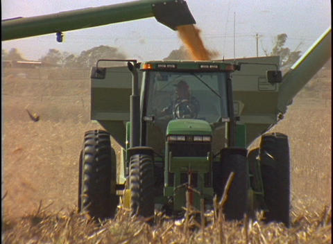 Harvested corn falls into the back of the combine as it moves through the corn field Live Action