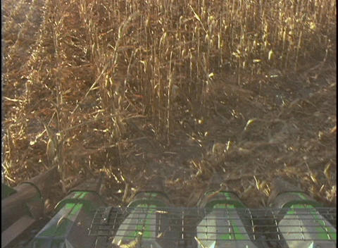 The blades of a combine machine cut through rows of corn... Stock Video Footage