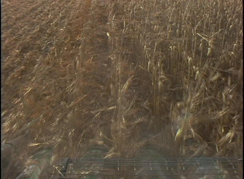 The blades of a combine machine cut through rows of corn stalks Live Action