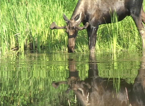 A Moose grazes on water plants at the edge of a lake Stock Video Footage