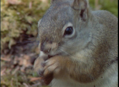 A squirrel eats a nut Stock Video Footage