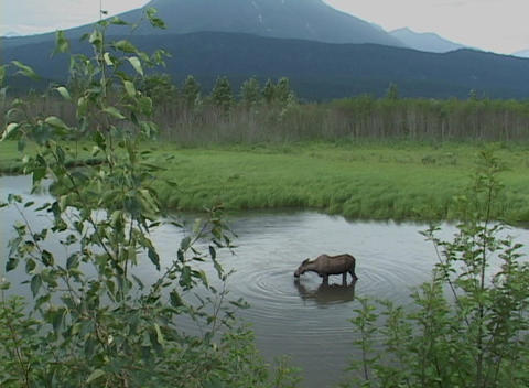 A moose grazes on aquatic vegetation Stock Video Footage