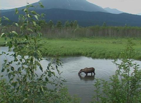 A moose grazes on aquatic vegetation Stock Video Footage