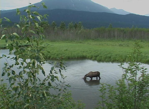 A moose grazes on aquatic vegetation Footage