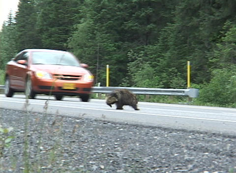 A porcupine turns around when he is almost hit by a car... Stock Video Footage