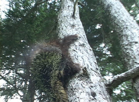 A porcupine climbs a tree Stock Video Footage