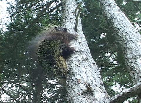 A porcupine climbs a tree Stock Video Footage